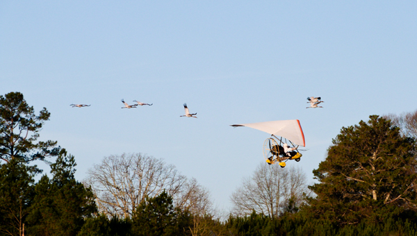 Follow the leader: Endangered whooping cranes migrating from Wisconsin to Florida are shown on the morning of their arrival in Chilton County. The cranes are guided by ultralight aircraft.