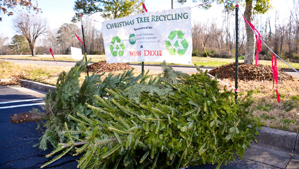 Old Christmas trees can be dropped off for recycling at the corner of the Clanton Winn-Dixie shopping center parking lot closest to the Chilton County YMCA.