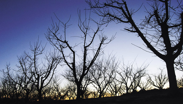 Rows of peach trees share the glow of the setting sun. The chill hour season ended Monday, and blooms are expected by mid-March. (File)