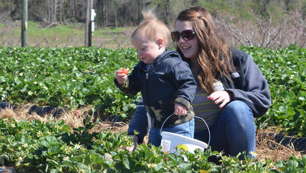 Happy picking: Julie Jolley of Montgomery helps her son, Cooper, pick strawberries at Sunshine/Jimmy Durbin Farms on Monday, the first day the berries were available to the public. (Photos by Stephen Dawkins)