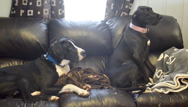 Great Danes Susie and Zeus were rescued by Kamp Krazy Bones Dog Grooming and Boarding after their owner was injured in a wreck on Interstate 65 in January.