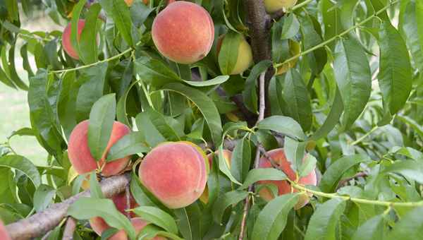 Peaches have become know as the lifeblood of agriculture in Chilton County. (Photo by Anthony Richards)